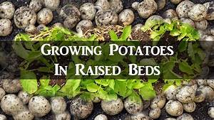 Growing Potatoes In Raised Beds - How To Grow  U0026 Harvest Potatoes From Seed Potatoes