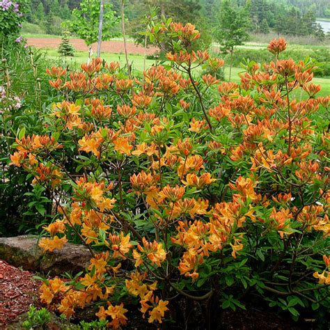 Golden Lights Azalea by Deciduous Shrub Picture Base Landmark Landscapes A