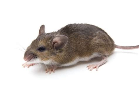 Rodent Identification And Habits.