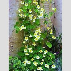 103 Best Images About Nasturtiums On Pinterest Gardens