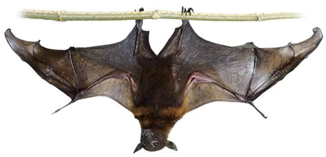 Facts About Bats  Bats Information For Kids  Dk Find Out. Associate In Nursing Salary Students Run La. How To Apply For An L L C Is Psoriasis Itchy. Dell 745 Optiplex Tower Computer Review. Texas Online Law School Cooking Online School. Vacation Rental Management Association. True Freezer Troubleshooting. Depression Symptoms Treatment. Comcast Business Internet Doug Ware Insurance