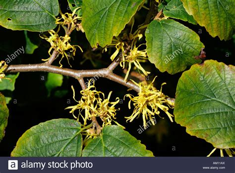 hamamelis virginiana plant flowering american witch hazel medicinal plant hamamelis stock photo 15112849 alamy