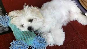 Maltese x Shih Tzu Puppy Falling Asleep - YouTube