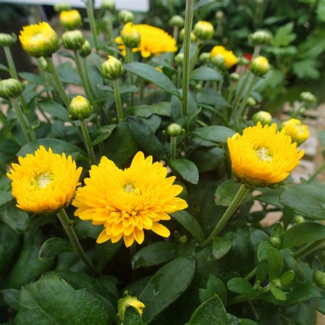 will mums bloom what s doing the blooming fall blooming mums knecht s nurseries landscaping