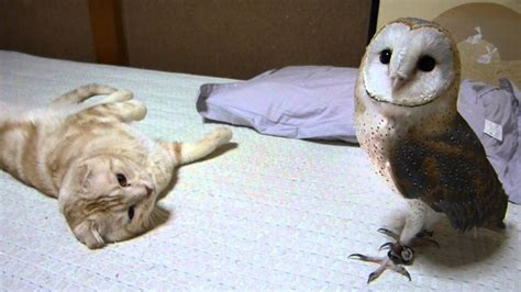 barn owl  cat youtube
