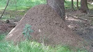 Wie Bekämpfe Ich Ameisen : h gelbauende ameisen ~ Whattoseeinmadrid.com Haus und Dekorationen