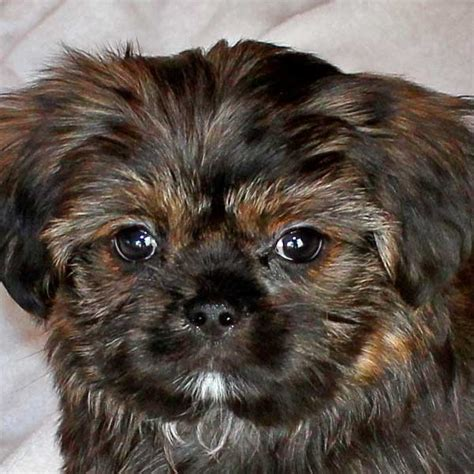 Do Shorkie Poos Shed by Shorkie Puppy For Sale In Boca Raton South Florida