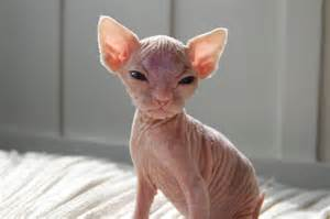bald cats 1000 images about hairless cats on