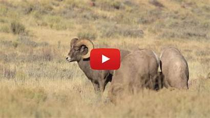 Bighorn Wildlife Journal