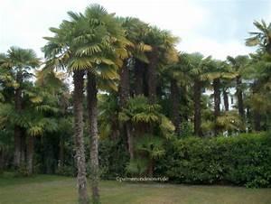 Trachycarpus Fortunei Auspflanzen : palmen palmen bananen und andere exotische pflanzen ~ Eleganceandgraceweddings.com Haus und Dekorationen