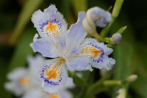 Japanische Gartenorchidee by Iris Japonica Sommerbl 252 Blumenzwiebelversand