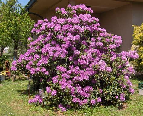 azalea coltivazione in vaso casa moderna roma italy rododendro coltivazione