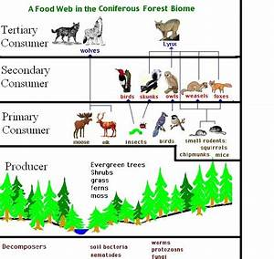 coniferous forest food web - Google Search   geography ...
