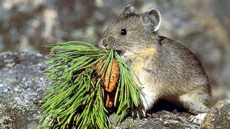 The American Pika Could Survive Climate Change By Eating