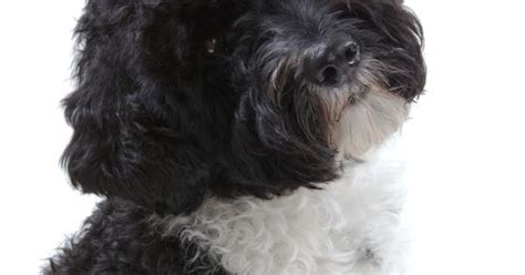 dogs  dont shed  portuguese water dog