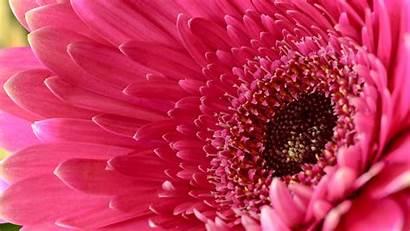 Gerbera Daisy Flower Pink Wallpapers Flowers Desktop
