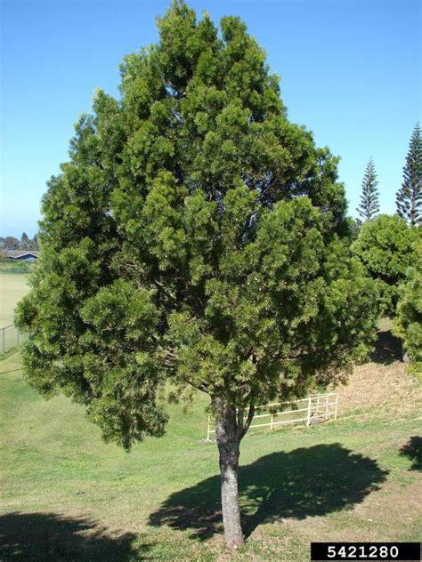 yew plum pine podocarpus macrophyllus pinales