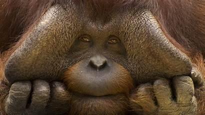 Animals Wallpapers Orangutan Nature Orangutans Sad Eyes