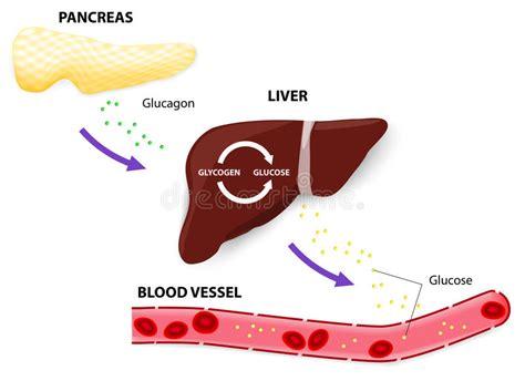 glucagon glycogen  glucose stock vector illustration