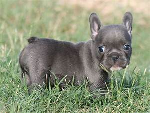 teacup french bulldog, what a cutie | you might just smile ...