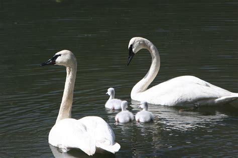 swan  child cygents pics hd wallpapers