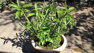 Oleander Zurückschneiden Video : oleander erfroren was tun ~ Lizthompson.info Haus und Dekorationen