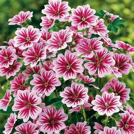 Lange Blühende Blumen by Stauden Maharadscha Malve Zebrina Malva Sylvestris