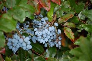 Busch Mit Roten Beeren : mahonie mahonia aquifolium wir sind im garten ~ Markanthonyermac.com Haus und Dekorationen
