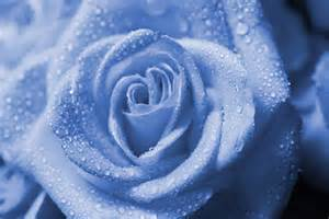 Wet Blue Rose Drops