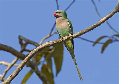 Suara burung flamboyan betina,untuk pancingan jantan yang macet. Mengetahui Perbedaan Burung Betet Jantan dan Betina Paling Jelas