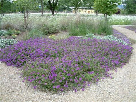 ground cover purple verbena homestead purple