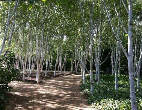 bare root silver birch trees  sale   ireland