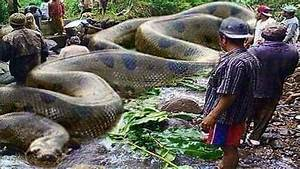 Largest Snake in the World Caught on Tape 2017 - Up Close ...