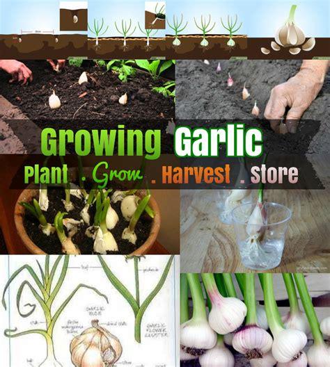 diy growing garlic    grow garlic step  step