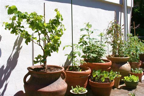 grow raspberries in a pot how to grow raspberries the garden of eaden