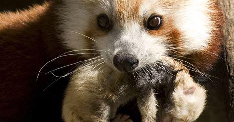 panda zoo mate national cub dies usatoday