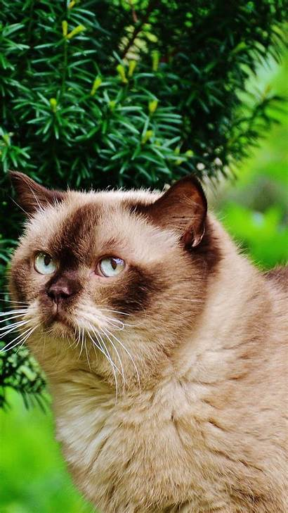 Cat Shorthair British Branches Animals 6s Parallax