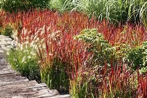 Ziergräser Im Garten Bilder : japanisches blutgras im garten pflanzen ein feuerroter akzent ~ Sanjose-hotels-ca.com Haus und Dekorationen