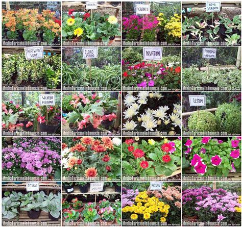 contoh gambar bunga lili contoh
