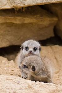 Cute Meerkats - Cute Meerkats Photos - Animal Photos