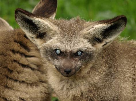 bat eared fox grootoorvos   olmense zoo olmen  flickr