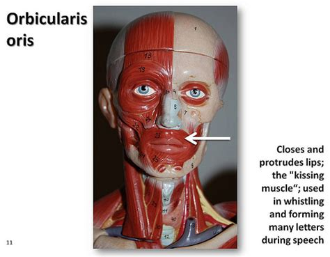 Orbicularis oris - Muscles of the Upper Extremity Visual A ...