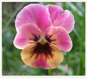pink pansy | PANSIES & VIOLAS | Pinterest | Search ...