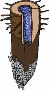 Bau Der Pflanze : von der wurzel bis zum blatt wurzel bau der wurzel ~ Lizthompson.info Haus und Dekorationen