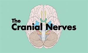 How To Remember The Cranial Nerves  Mnemonic