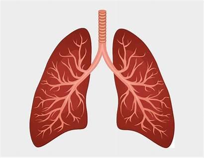 Lungs Cartoon Respiratory Lung System Clipart Cartoons