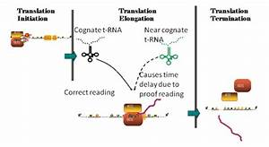 Translation Of Mrna Into Proteins Consists In Three Steps