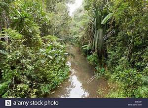 Creek flowing through dense jungle, primary forest ...