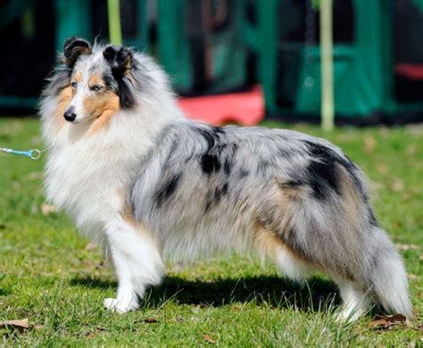 shetland sheepdog club  qld