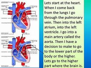 The Path Of Red Blood Cell Through The Body To The Heart